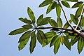 Plumeria rubra 10zz.jpg
