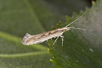 Diamondback moth - Image: Plutella.xylostella. 7383