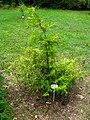 Podlaskie - Suprasl - Kopna Gora - Arboretum - Chamaecyparis pisifera.JPG