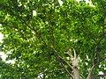 Pohon kampus.jpg