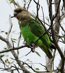 Poicephalus cryptoxanthus -Kruger Park, South Africa-8.jpg