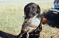 A black dog holds a duck in its mouth after a hunt. The dog is soaking wet and in a field.