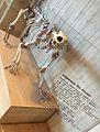 Polar bear skeleton Judaberg, Finnøy, Norway Stavanger Arkeologisk museum 2015-05-27 01.jpg