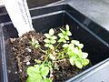 Polemonium caeruleum young plant 1.JPG