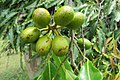 Polyalthia longifolia fruits - at Beechanahalli 2014 (1).jpg
