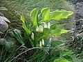 Polygonatum odoratum.jpg