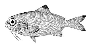 Beardfish genus of fishes
