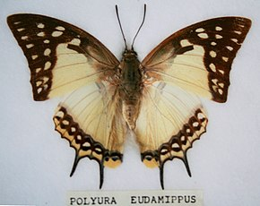 Description de l'image Polyura eudamippus.jpg.