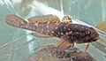 Ponticola cephalargoides 4.jpg