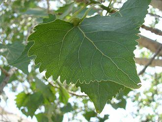 Populus fremontii - Leaf: Populus fremontii ssp. fremontii