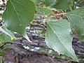 Populus nigra (4999110694).jpg