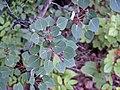 Populus tremuloides (quaking aspen) (central Alaska, USA) (15788310861).jpg