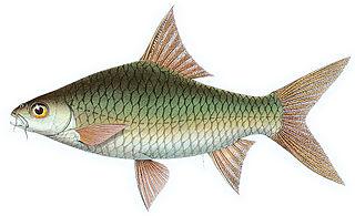 <i>Poropuntius</i> genus of fishes