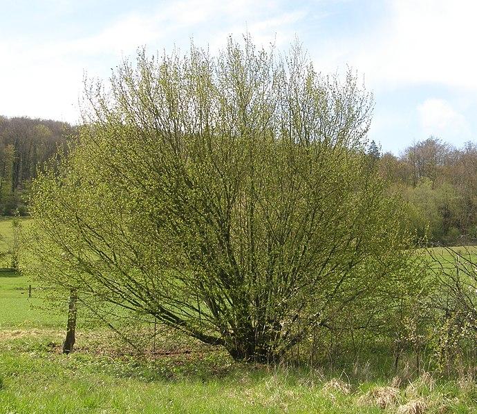 Port d'un noisetier cultivé. Eclosion des bourgeons, à la fin du mois d'avril.