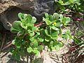 Portulaca oleracea 5.jpg