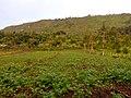 Potatoes farming near the mountain ranges of Nyandarua County.jpg