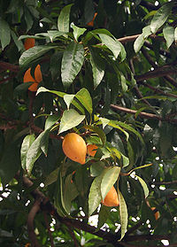 Sawo mentega - Wikipedia bahasa Indonesia, ensiklopedia bebas