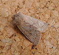 Powdered Quaker. Orthosia gracilis? (17782383410).jpg