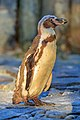 Prague 07-2016 Zoo img16 Spheniscus humboldti.jpg
