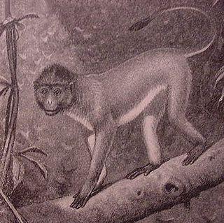 Surili Genus of south-east Asian monkeys