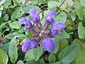 Prunella grandiflora2.jpg