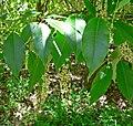 Prunus brachybotrya 1.jpg