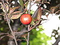 Prunus cerasifera var atropurpurea4.jpg