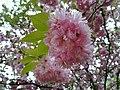 Prunus serrulata, Kornik.jpg