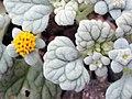 Psathyrotes ramosissima (1).jpg