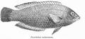 PseudodaxMoluccanus.png