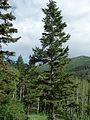 Pseudotsuga glauca Days Fork Trail UT.jpg