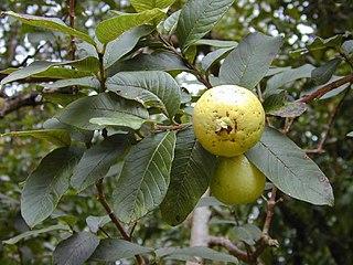 <i>Psidium</i> Genus of flowering plants in the family Myrtaceae