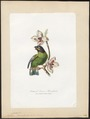Psittacus barrabandi - 1700-1880 - Print - Iconographia Zoologica - Special Collections University of Amsterdam - UBA01 IZ18600079.tif