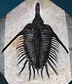 Psychopyge elegans fossil trilobite (Devonian; Morocco) (15160482038).jpg