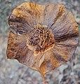 Pterocarpus dalbergioides - Andaman Padauk 02.JPG