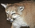 Puma concolor (mountain lion) (southern Colorado, USA) 1 (49189288117).jpg