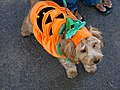 Pumpkin dog (1701028007).jpg