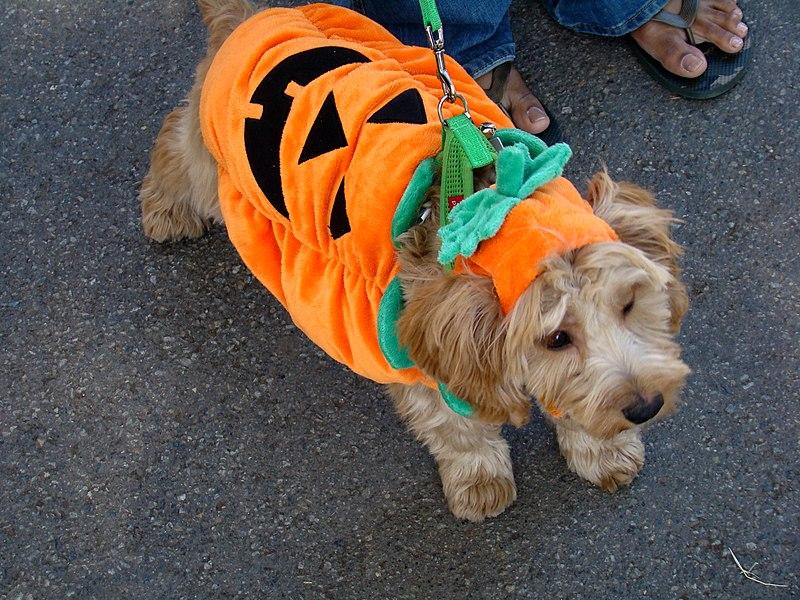 Dog in Pumpkin Halloween Costume