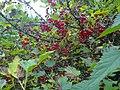 Punaherukka ( Redcurrant, Смородина красная) - panoramio.jpg
