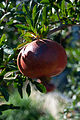 Punica granatum on tree - Croatia.jpg