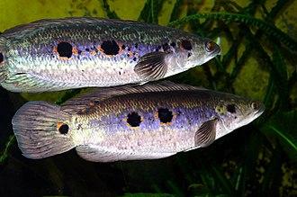 Snakehead (fish) - Channa pleurophthalma