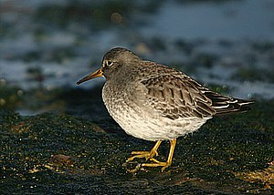 Nordenskiöld Archipelago - The Purple Sandpiper is one of the birds foraging in the shores and wetlands of the Nordenskiöld Archipelago in the summer.