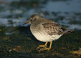 Nordenskiöld Archipelago - The Purple Sandpiper is one of the birds foraging in the shores and wetlands of the archipelago in the summer