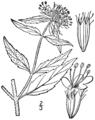 Pycnanthemum clinopodioides drawing 1.png