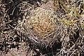 Pyrrhocactus andicola (30521942301).jpg