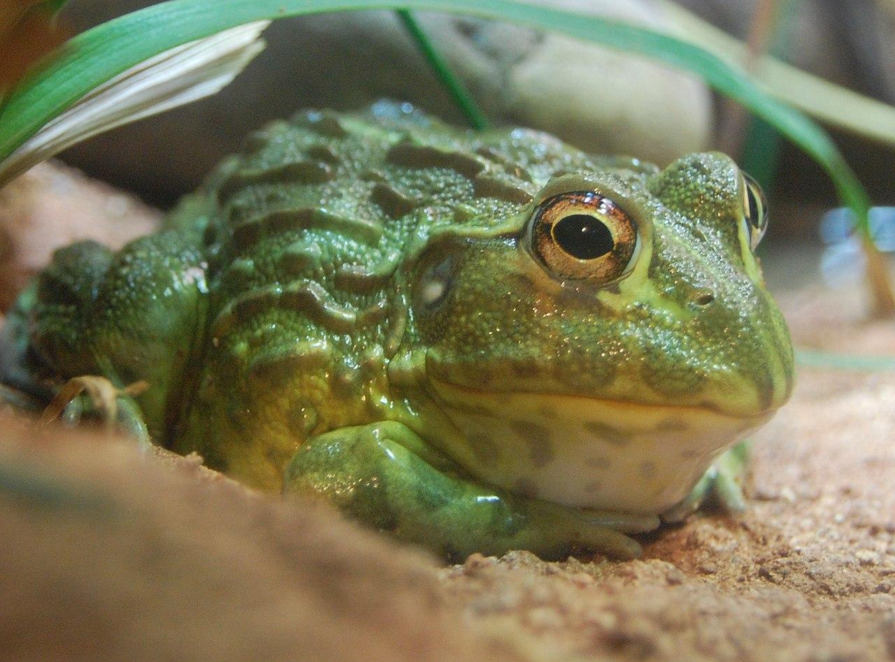 Pyxicephalus adspersus, Boston Aquarium.jpg
