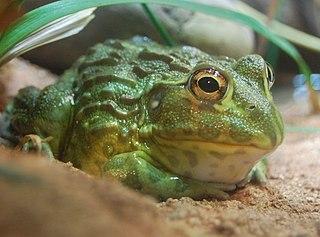 African bullfrog species of amphibian