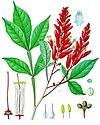 Quassia amara - Köhler–s Medizinal-Pflanzen-117.jpg