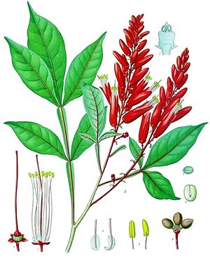 Quassia amara, Illustration