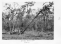 Queensland State Archives 4307 Bulldozer clearing at the Childers Soldiers Settlement 1950.png
